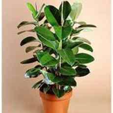 Растения козерога - фикус.