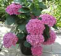 Гортензия (hydrangea).