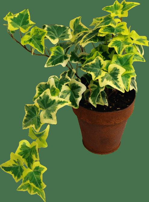 Какие растения нельзя держать в доме в квартире-плющ