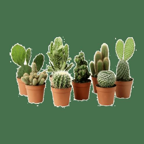 Какие растения нельзя держать в доме в квартире-кактус