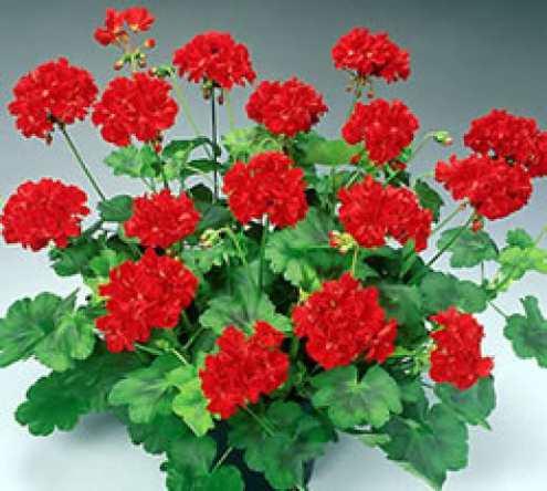 Полезные растения для дома - герань