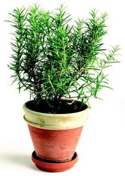 Полезные растения для дома - Розмарин лекарственный