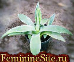 Агава комнатное растение - правила выращивания и ухода.