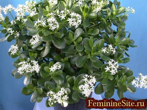 Денежное дерево - комнатное растение, дарующее благосостояние