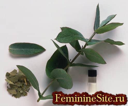 Эфирное масло эвкалипта - эффективное средство ароматерапии