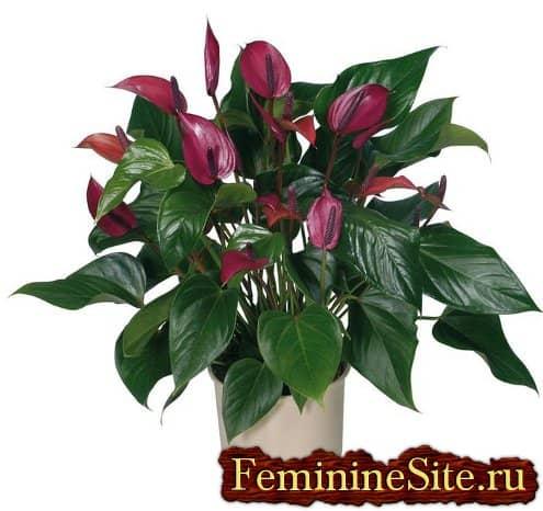 Как ухаживать за антуриумом - экзотическим и красивым комнатным растением