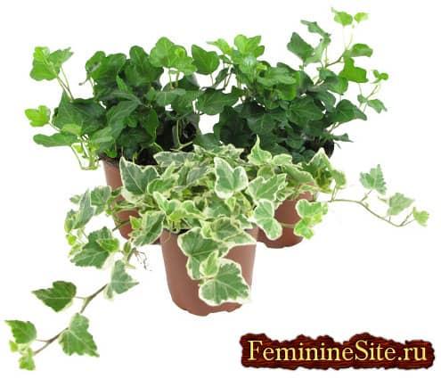 Плющ комнатное растение с покладистым характером