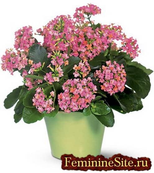 Популярные светолюбивые комнатные растения - каланхоэ