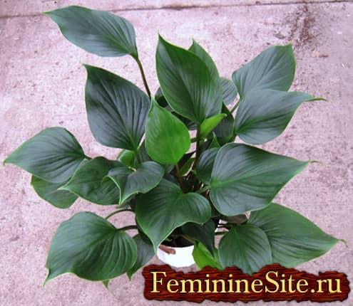 Комнатные растения с большими листьями - гомаломена
