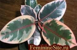 Комнатное растение фикус - разновидности и уход