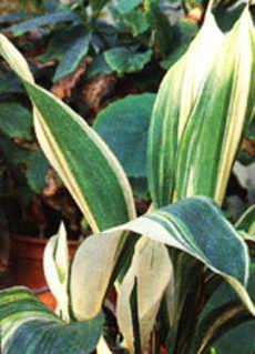 Комнатные растения не требующие света и ухода за ними. (aspidistra)
