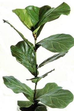 Комнатное растение фикус - разновидности и уход.