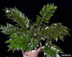 Комнатные растения не требующие света и ухода за ними. (cirtomium)