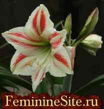 Гиппеаструм - выращивание, уход, размножение, болезни и вредители. Фото.