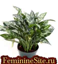 Комнатные растения, которые очищают воздух в доме (Aglaonema mari).