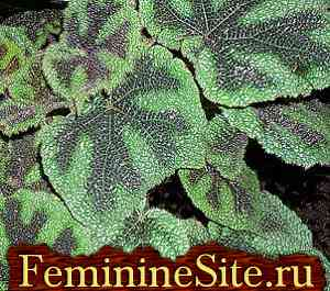 Бегония - разновидности (begonia masoniana).