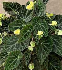 Бегония - разновидности, выращивание, размножение (begonia pearcei)