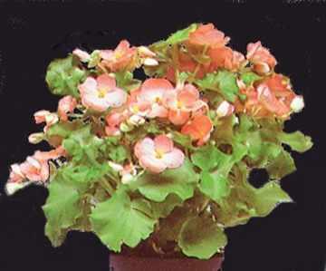 Бегония - разновидности, выращивание, размножение, вредители и болезни.