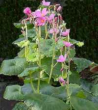 Бегония - разновидности, выращивание, размножение (begonia socotrana).
