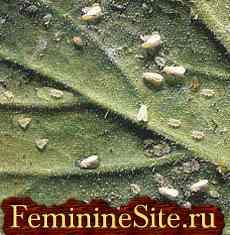 вредители комнатных растений - белокрылка.