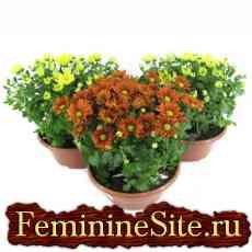Комнатные растения, которые очищают воздух в доме - хризантема.
