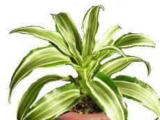 Комнатные растения, которые очищают воздух в доме - Драцена.