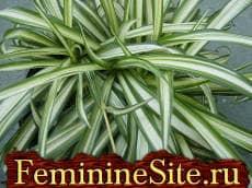 Комнатные растения, которые очищают воздух в доме - хлорофитум.