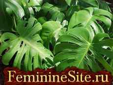 Комнатные растения, которые очищают воздух в доме - филодендрон