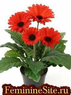 Комнатные растения, которые очищают воздух в доме - гербера.