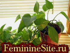 Комнатные растения, которые очищают воздух в доме - сциндапсус.