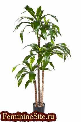 Растения козерога - драцена душистая