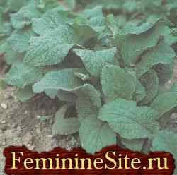 Огуречная трава - бораго: выращивание, свойства и применение.