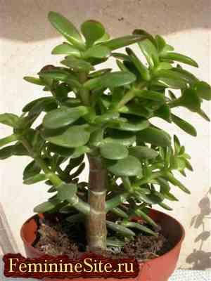Растения козерога - толстянка