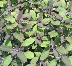 Шалфей: сорта, выращивание, свойства, применение и противопоказания.