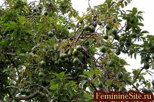 Авокадо - фрукт, который полезен всем без исключения