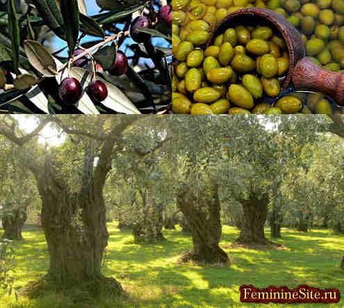 Оливки полезные свойства