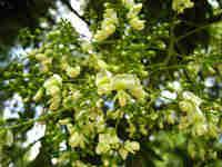 Целебные свойства софоры японской. Какие болезни лечит софора?
